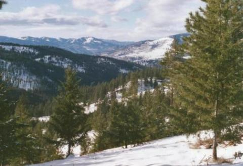 View of ponderosa pines and snow