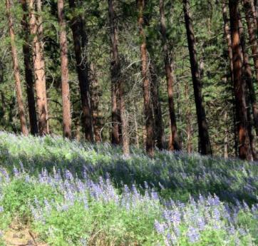 Lupine flowers growing beneath ponderosa pines