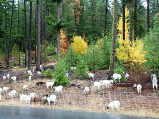 Goats are being used to modify vegetation in a fuel break - Kittitas County