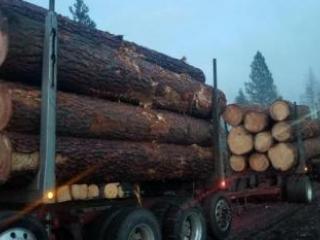 Nice load of ponderosa pine!